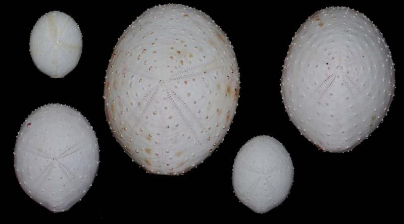 Spatangoida - Paleopneustina incertae sedis B - Heterobrissus niasicus (Döderlein, 1901)  Hetero11