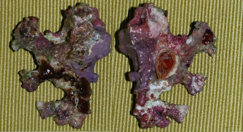 Homalocantha anatomica - (Perry, 1811) Homolo10