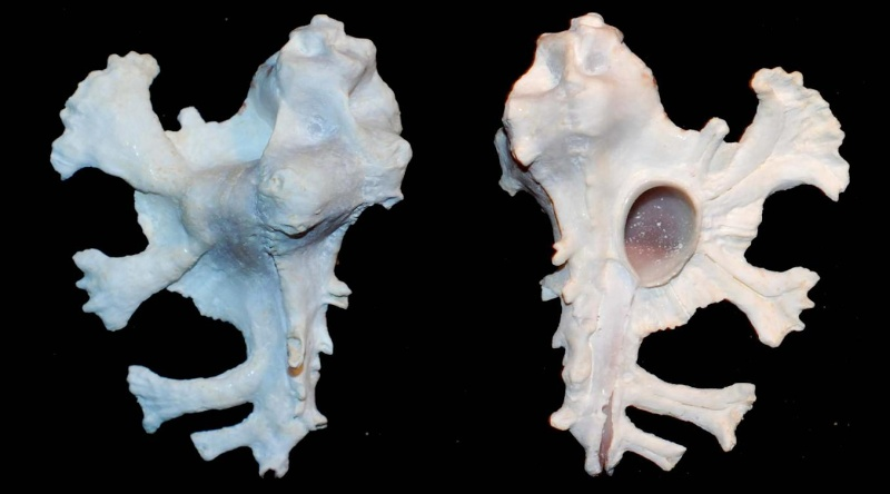 Homalocantha anatomica - (Perry, 1811) Homolo11