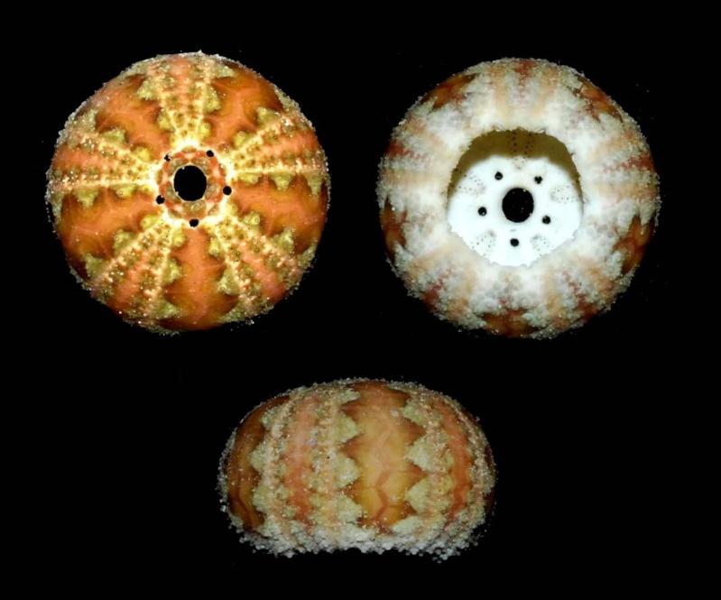 Camarodonta - Temnopleuridae - Microcyphus maculatus L. Agassiz in L. Agassiz & Desor, 1846  Microc10