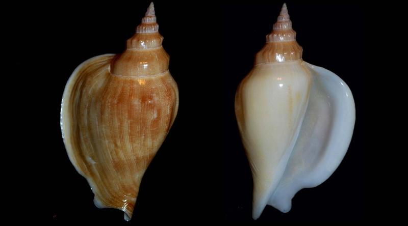 Strombidae Labiostrombus epidromis - (Linnaeus, 1758) Stromb11