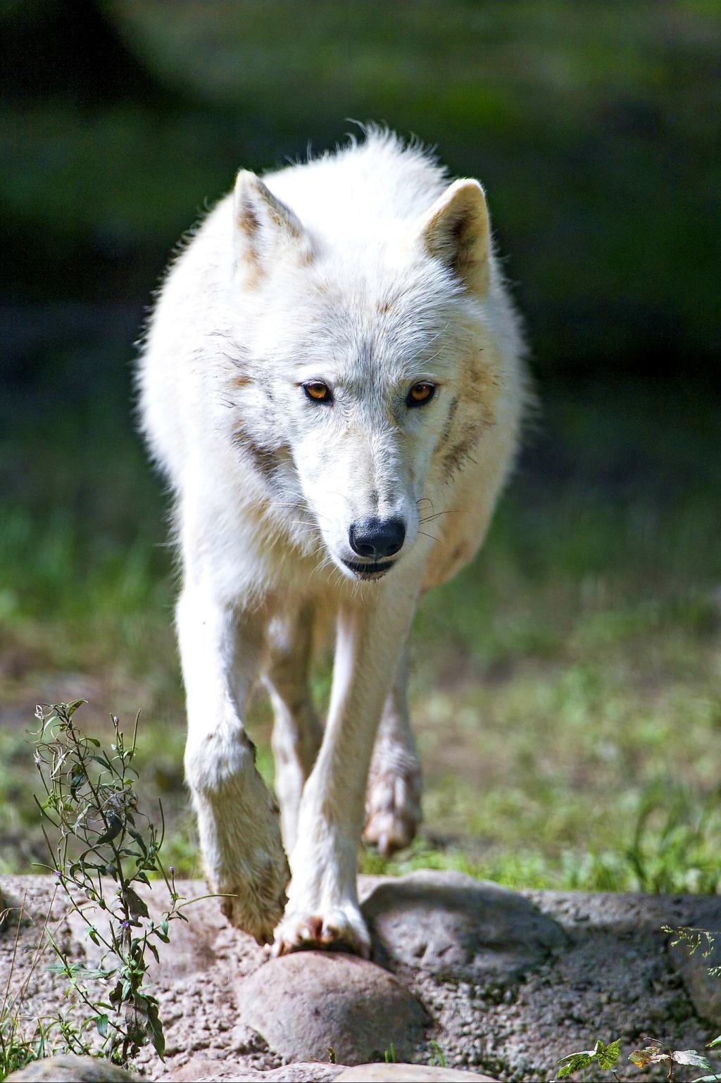 Wolf Banner 20190410