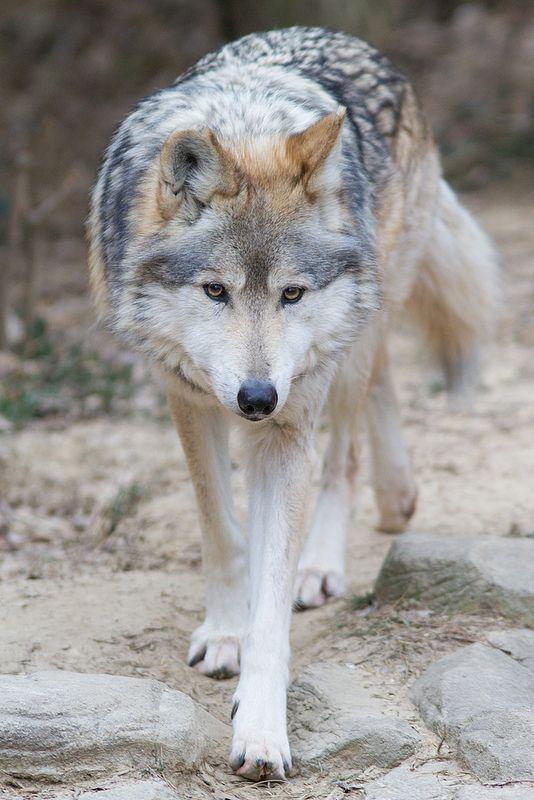 Wolf Banner 678d5810