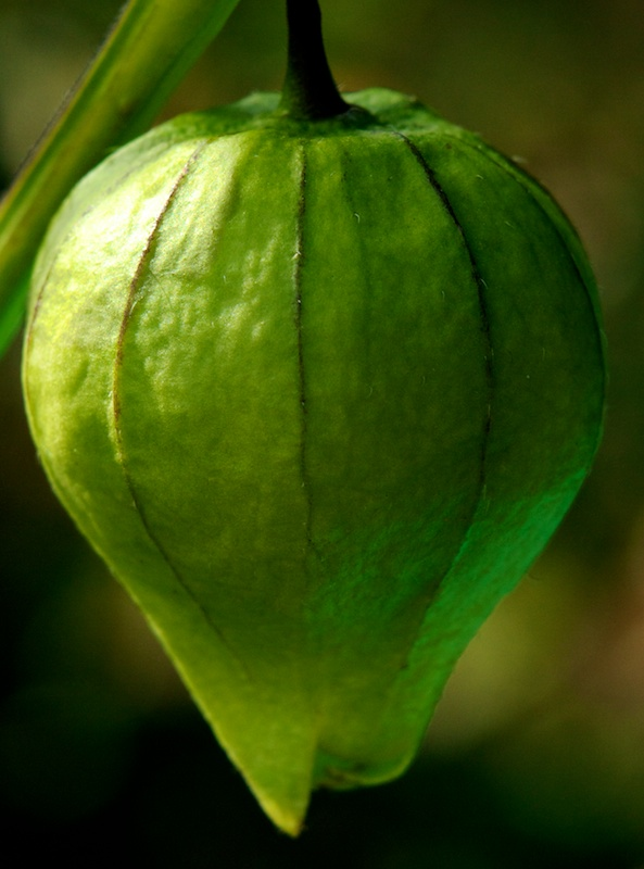 physalis Phy10
