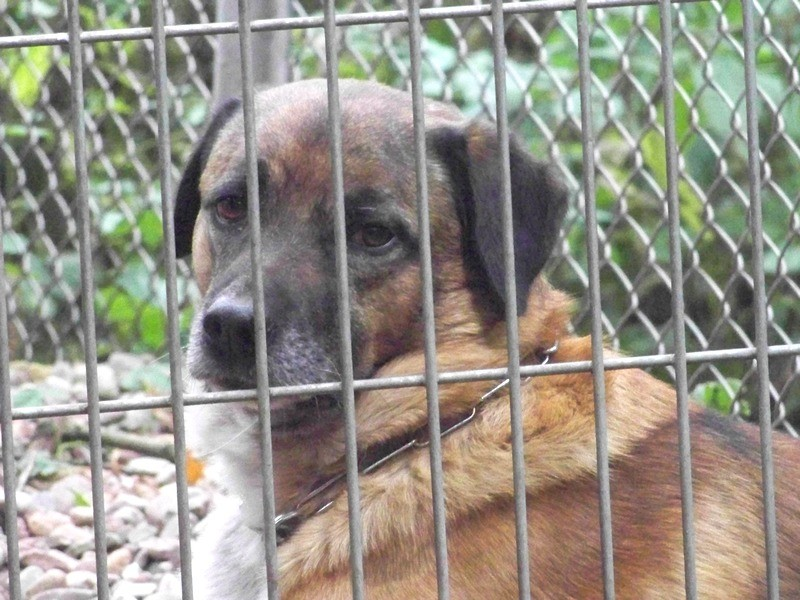 Schäferhund-Heerdenschutzmix (5 Jahre) wartet seit 4 Jahren im Tierheim (NRW). :-(( 2712