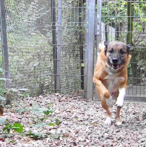 Schäferhund-Heerdenschutzmix (5 Jahre) wartet seit 4 Jahren im Tierheim (NRW). :-(( 2812
