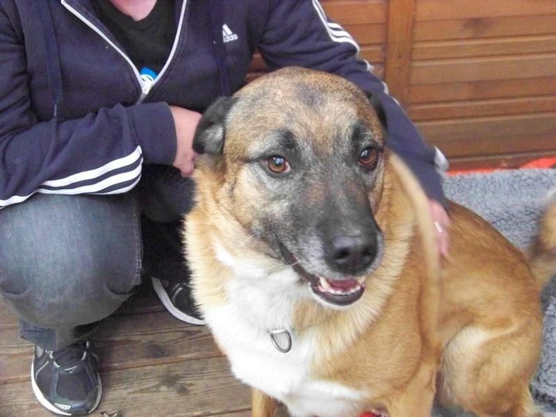 Schäferhund-Heerdenschutzmix (5 Jahre) wartet seit 4 Jahren im Tierheim (NRW). :-(( 2911