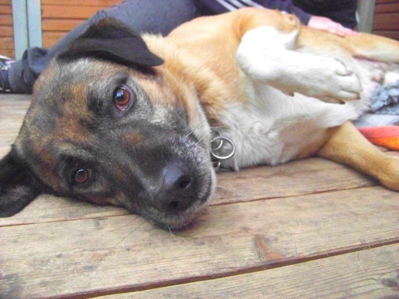 Schäferhund-Heerdenschutzmix (5 Jahre) wartet seit 4 Jahren im Tierheim (NRW). :-(( 3111
