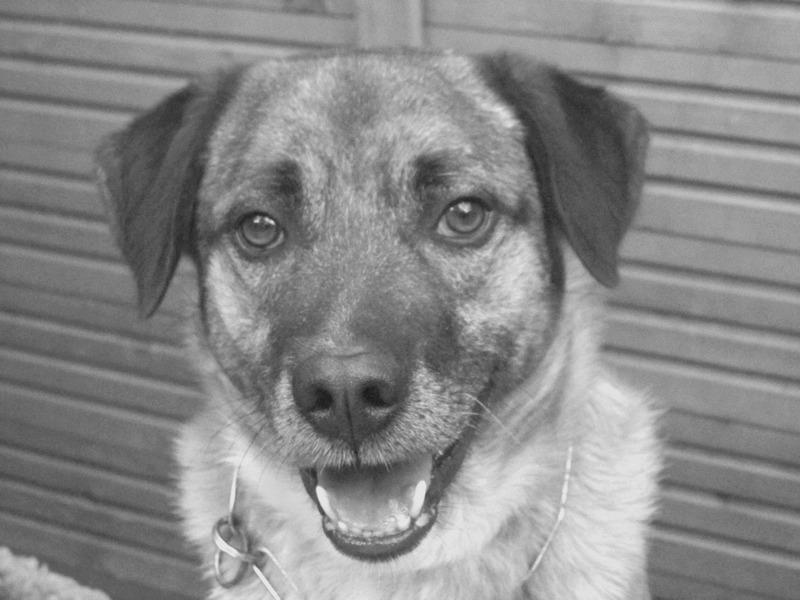 Schäferhund-Heerdenschutzmix (5 Jahre) wartet seit 4 Jahren im Tierheim (NRW). :-(( 3210