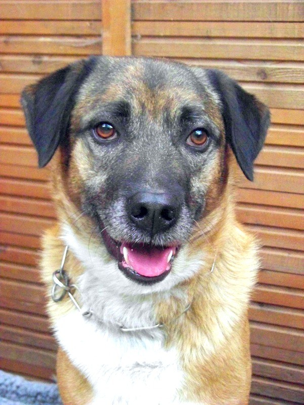 Schäferhund-Heerdenschutzmix (5 Jahre) wartet seit 4 Jahren im Tierheim (NRW). :-(( 3311