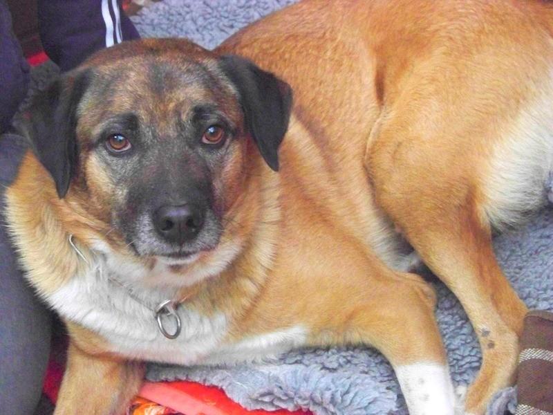 Schäferhund-Heerdenschutzmix (5 Jahre) wartet seit 4 Jahren im Tierheim (NRW). :-(( 3710