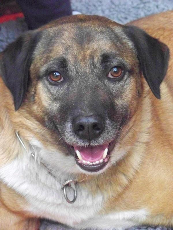 Schäferhund-Heerdenschutzmix (5 Jahre) wartet seit 4 Jahren im Tierheim (NRW). :-(( 3810
