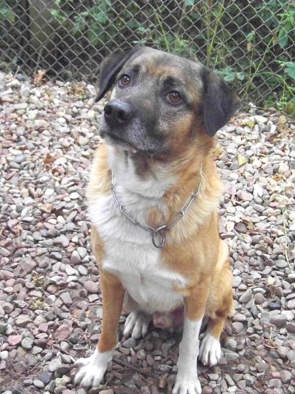 Schäferhund-Heerdenschutzmix (5 Jahre) wartet seit 4 Jahren im Tierheim (NRW). :-(( 3910