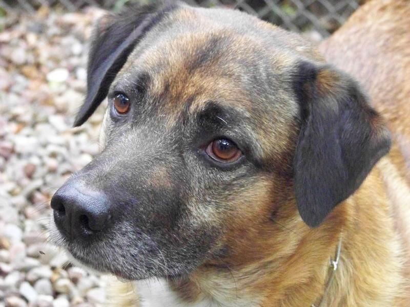Schäferhund-Heerdenschutzmix (5 Jahre) wartet seit 4 Jahren im Tierheim (NRW). :-(( 4011
