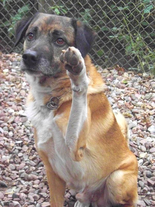 Schäferhund-Heerdenschutzmix (5 Jahre) wartet seit 4 Jahren im Tierheim (NRW). :-(( 4110