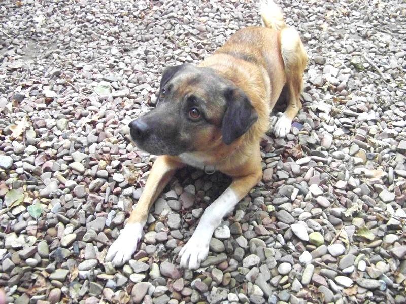 Schäferhund-Heerdenschutzmix (5 Jahre) wartet seit 4 Jahren im Tierheim (NRW). :-(( 4210