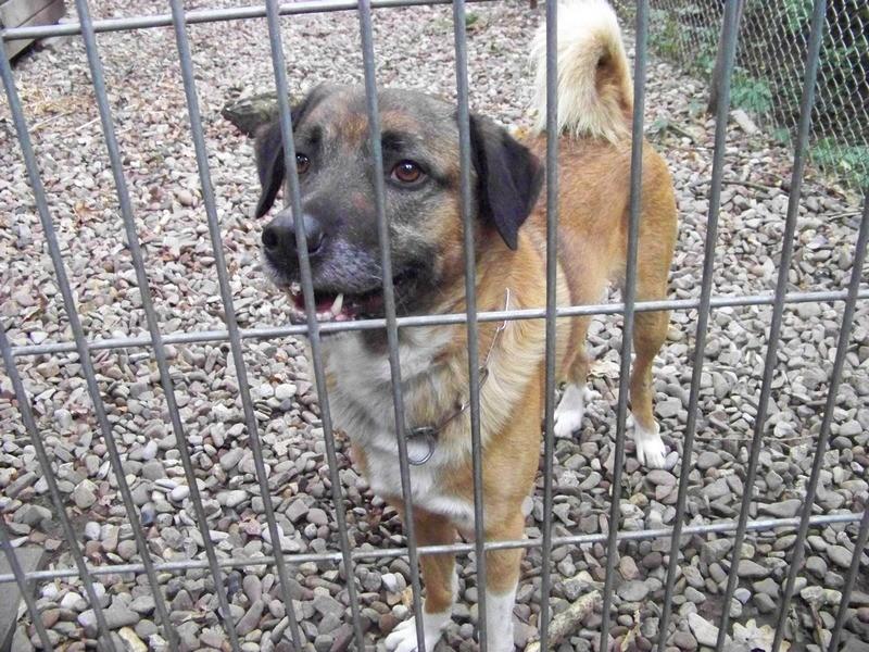 Schäferhund-Heerdenschutzmix (5 Jahre) wartet seit 4 Jahren im Tierheim (NRW). :-(( 4310
