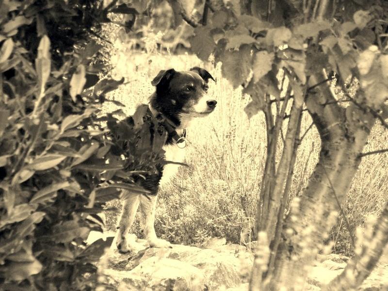 Sehr verträglicher Jack Russell Mischling - lebt sein halbes Leben im Tierheim. Wo sind seine konsequenten Menschen???? 7410