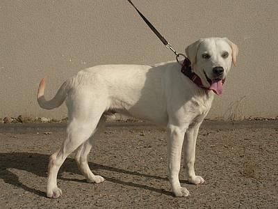 Tauber sehr junger Labradormischling - vermittelt Jack110