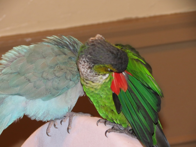 Black Capped Conure August11