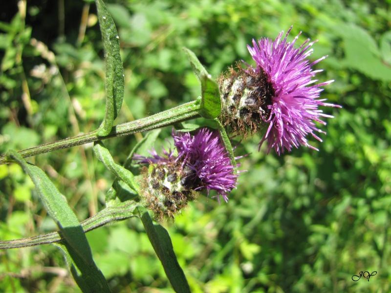 Plante à chrysomèles ! Img_1812