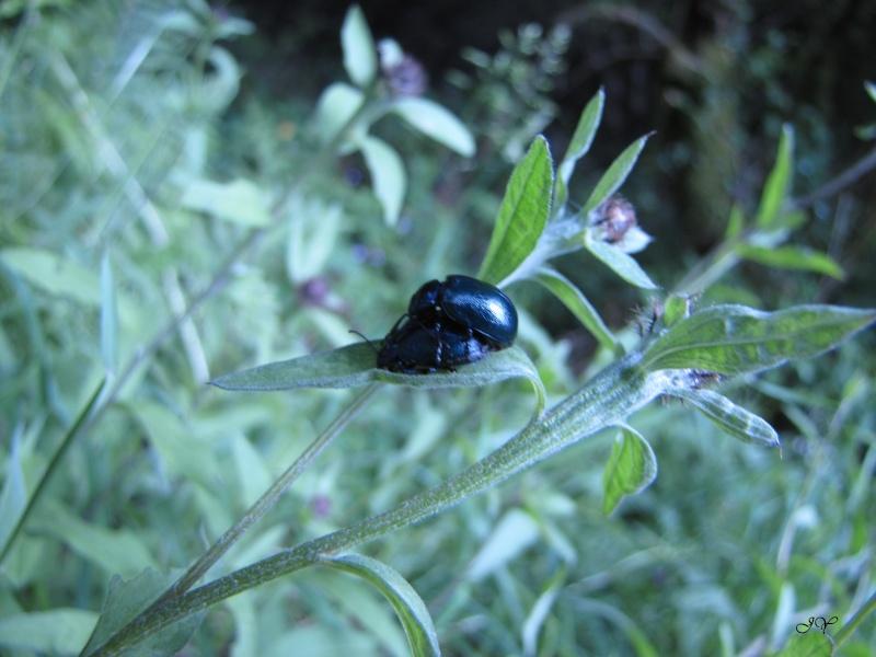 Plante à chrysomèles ! Img_6816