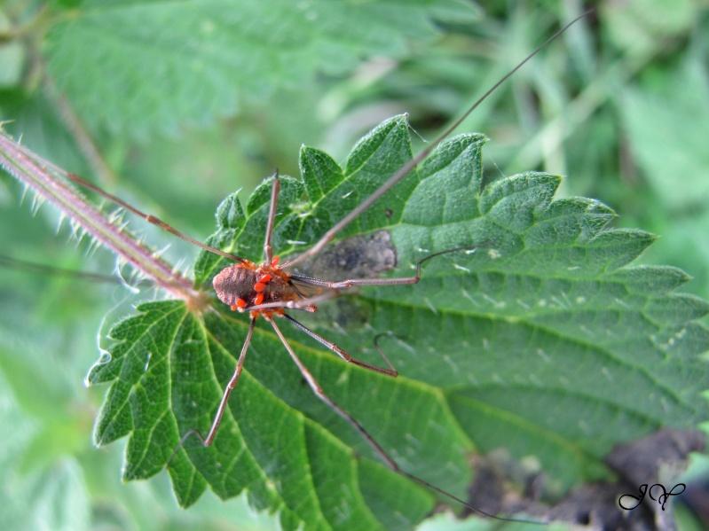 Araignée rouge Img_8911