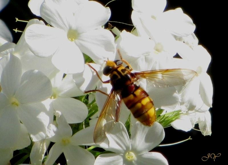 [Milesia crabroniformis] Espèce de gros Diptère ! Milesi10