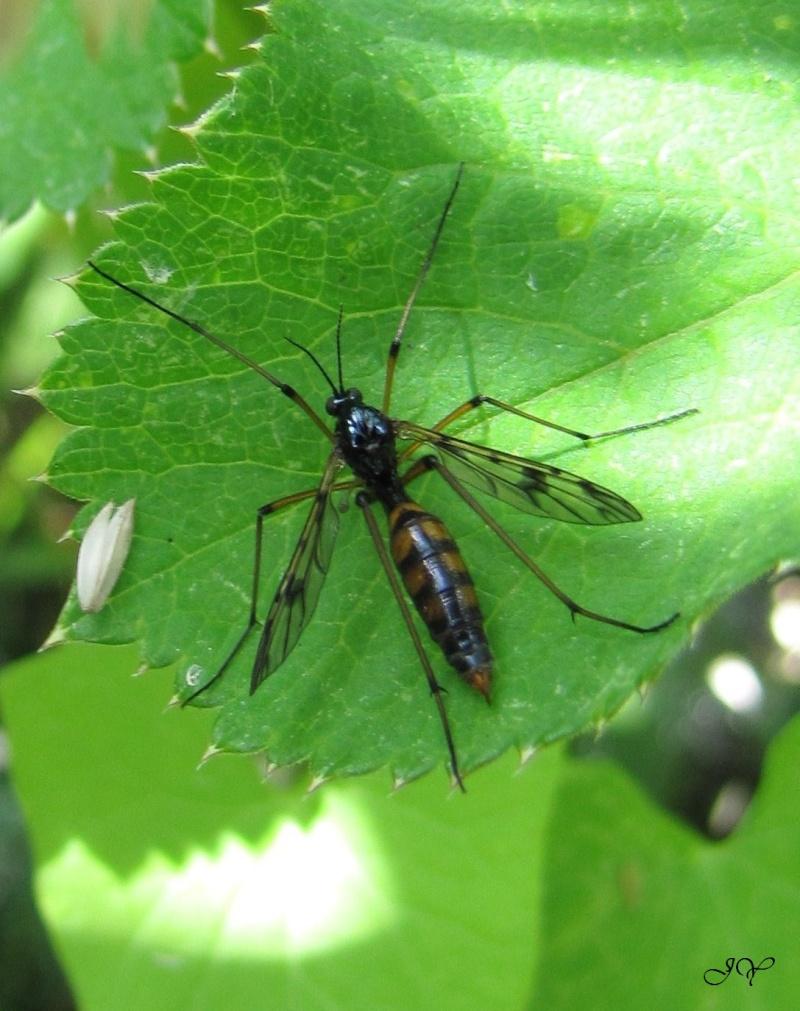Ptychoptera Contaminata. Ptycho10