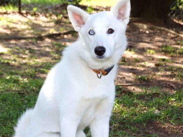 Husky Wolf Hybrid Page 3