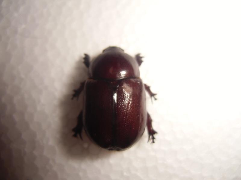 un dynastinae Cimg0829