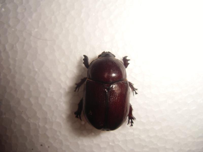 un dynastinae Cimg0830