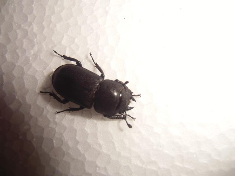 une femelle de dorcus paralellipipedus Cimg0831