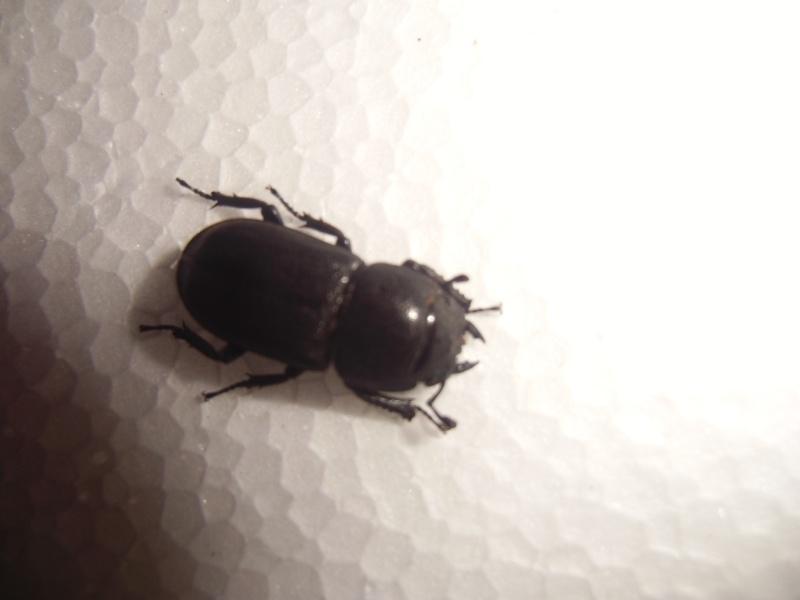 une femelle de dorcus paralellipipedus Cimg0832