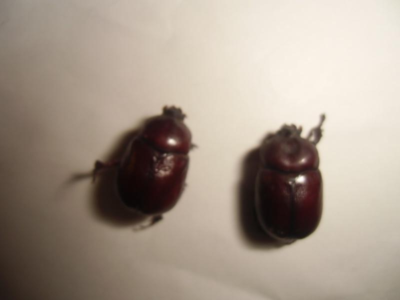 un dynastinae Cimg0915