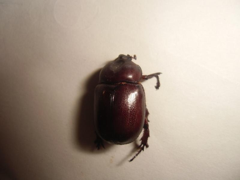un dynastinae Cimg0917