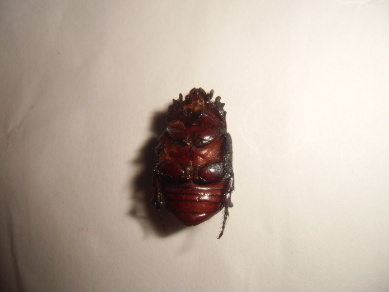 un dynastinae Cimg0926