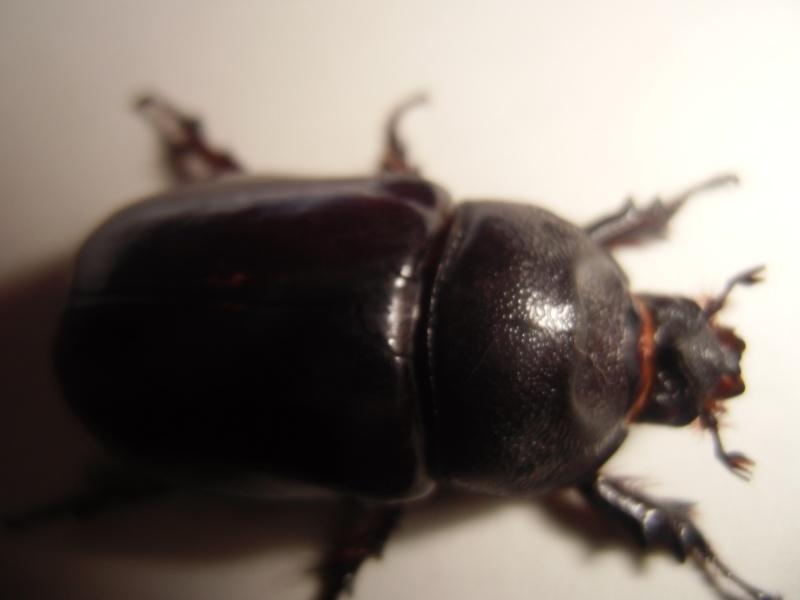 une femelle orycte nasicornis!! Cimg0943