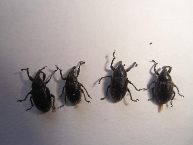 curculonidae corse Cimg1058