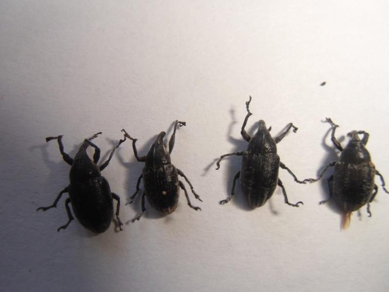 curculonidae corse Cimg1059