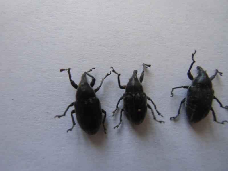 curculonidae corse Cimg1060