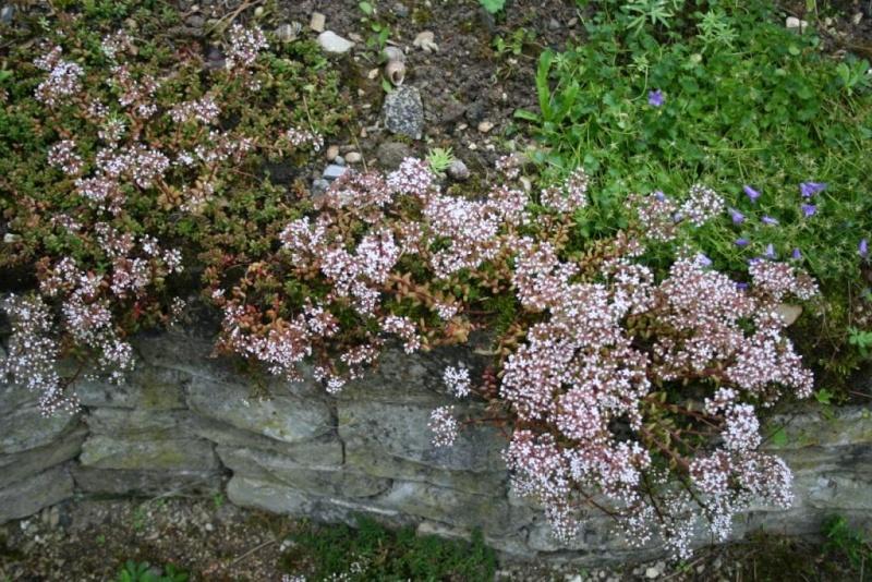 succulente en fleurs au jardin Img_6512