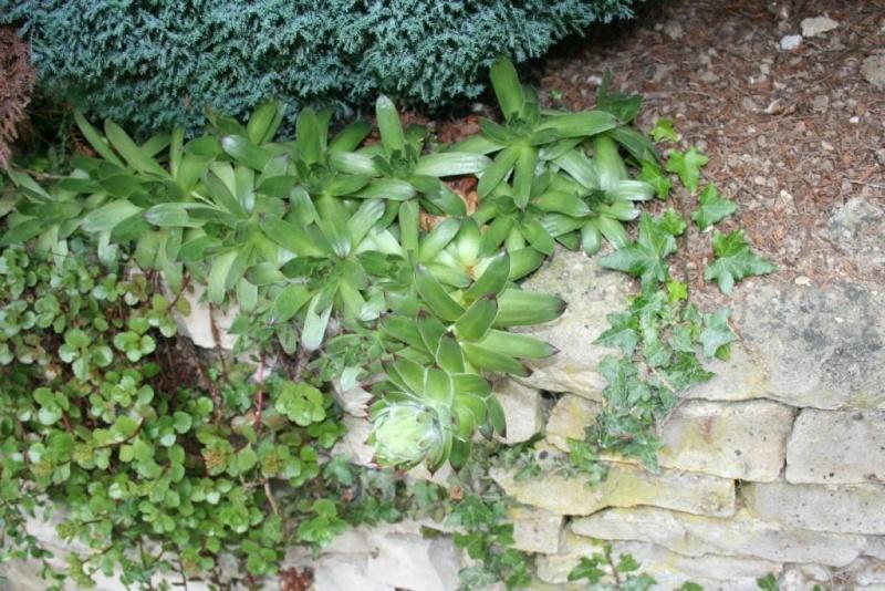 succulente en fleurs au jardin Img_6514
