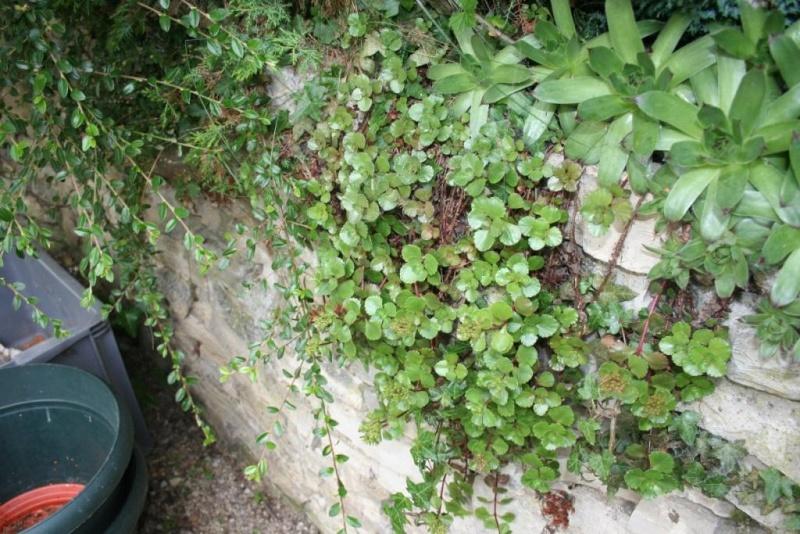 succulente en fleurs au jardin Img_6516