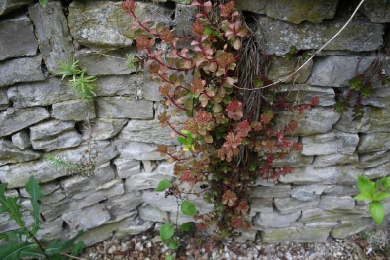 succulente en fleurs au jardin Img_6518