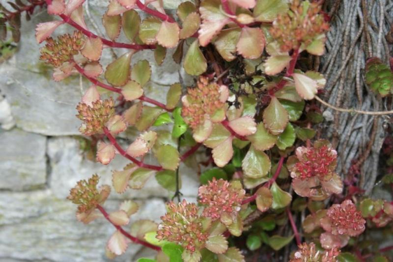 succulente en fleurs au jardin Img_6519
