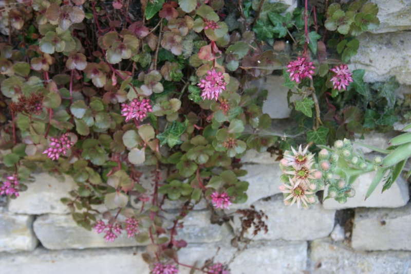 succulente en fleurs au jardin Img_6813