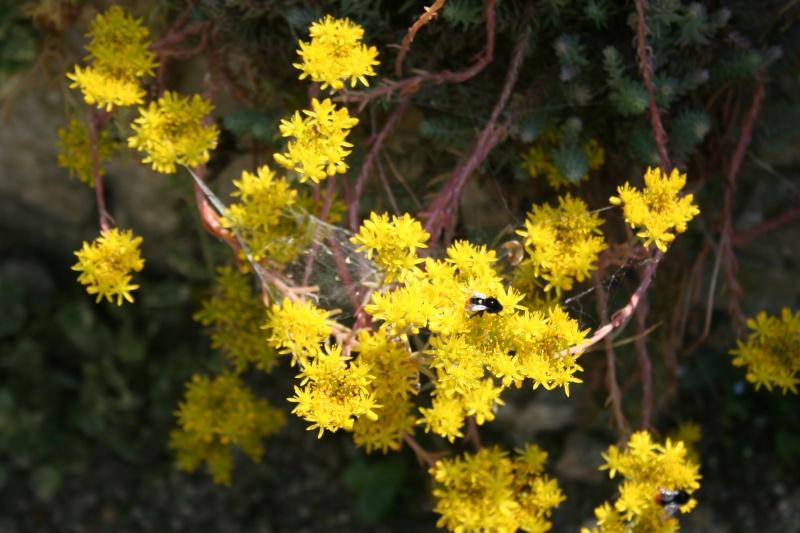 succulente en fleurs au jardin Img_6818