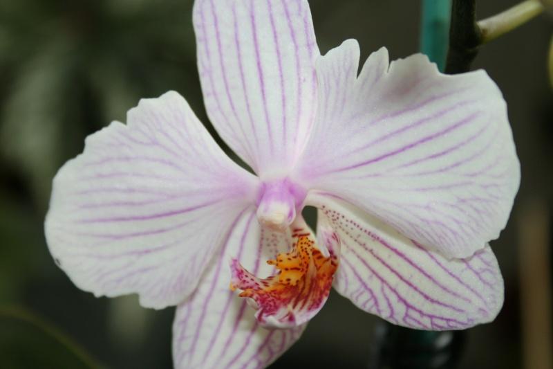 orchidée sauvée de la mort ! Img_6913