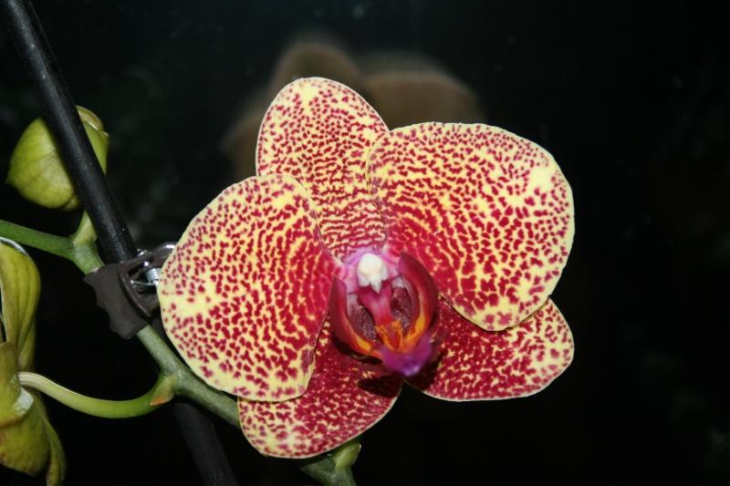 phalaenopsis dazzle - Page 3 Img_6940